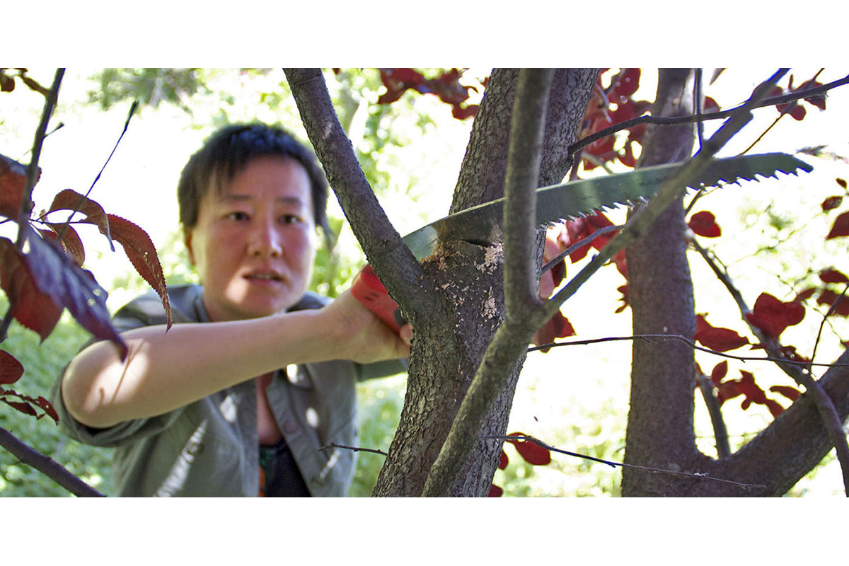 Tara Hui of the Guerilla Grafters prunes an ornamental plum tree.